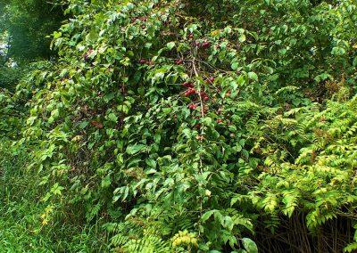 Wild plums near apiary