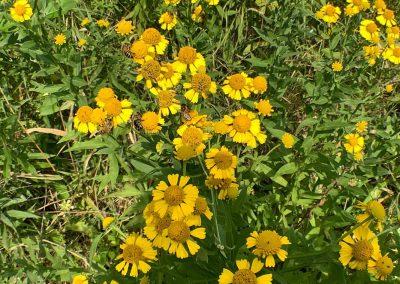 Honey bees on sneezeweed near apiary