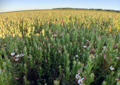 Cranberry bog in bloom
