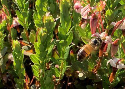 Honey bee on cranberry blossom